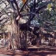 バニヤンの大樹